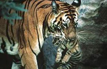 m-tiger